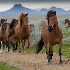 Icelandic horses by Anna Guðmundsdóttir - Animals Horses ( hestahópurinn, íslenskir hestar, anna guðmundsdóttir, hestaferð, 13.ágú, árnesýsla, hestaferðin gullhringurinn, horse trip, 2018, hestar, icelandic horses, myrkholt, horses,  )