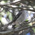 Rose robin, Female