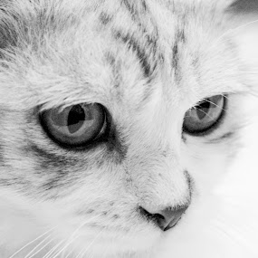 CAT by Frans Priyo - Animals - Cats Portraits ( canon, cat, beautiful, bw, cute, portrait, animal )
