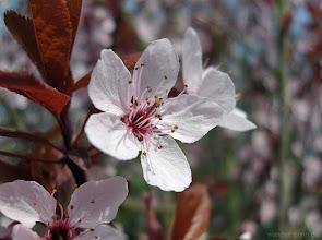 Photo: Blüte einer Kirschpflaume