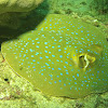 BlueSpotted RibbonTail Stingray