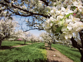 Photo: Beautiful apple blossoms at Apple Alley in Cox Arboretum in Dayton, Ohio.