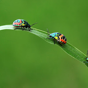 Glass Insects by Subrata Kar - Animals Insects & Spiders