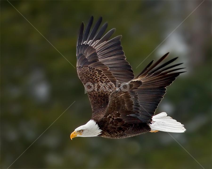 Cruising By by Herb Houghton - Animals Birds ( bird of prey, eagle, bald eagle, raptor )