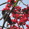 Indian Jungle Crow (fledgling)