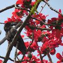 Indian Jungle Crow (fledgling)