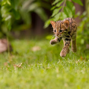 Levitating Leopard Cat by Ashley Vincent - Animals Lions, Tigers & Big Cats ( felidae, thailand, enchanting, ashley vincent, curious, focused, wonder, cuddly, lovely, endearing, markings, spots, loveable, youth, fun, stripes, jump, sweet, innocence, adorable, playful, delightful, eye contact, wildcat, cubs, run, cute, exotic, running, sister, girl, gorgeous, happy, precious, fur, couple, baby, feline, prionailurus bengalensis, kitten, speed, beautiful, play, panthera, young, leopard cat, sibling, youthful, brown, sunlit, animal, motion, animals in motion, pwc76 )