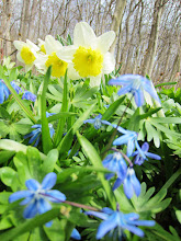 Photo: Blue flowers in front of pale yellow daffodils at Wegerzyn Gardens in Dayton, Ohio.