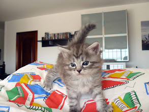 Photo: Quimey (blue silver tabby) 1 mes
