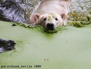 Photo: Knut bei einer Schwimmrunde ;-)
