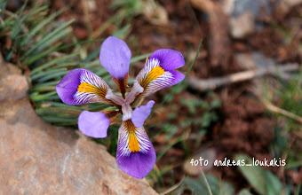 Photo: ΙΡΙΔΑ Η ΚΡΗΤΙΚΗ Iris cretensis ΘΡΙΠΤΗ