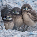Juvenile Burrowing Owls