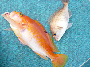 Photo: アカイサキと真鯛。 アカイサキはグッドサイズ!