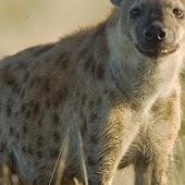 Hyenas Wallpapers HD FREE