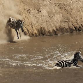 Leap of faith by Shreyas Kumar - Animals Other Mammals ( masai mara, zebra jump, leap of faith, zebra, zebra mara crossing,  )
