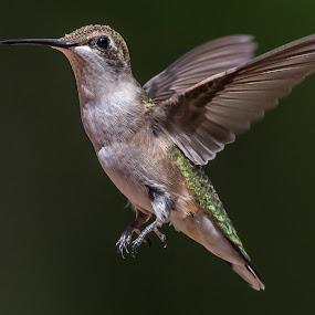 Hummingbird by Mike Watts - Animals Birds (  )