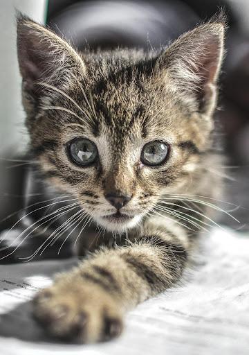 cute cat, pussy cat live wallpaper hd screenshot 1
