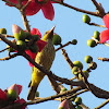 The Indian golden oriole