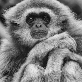 Board  by Barry Smith - Black & White Animals ( nature, ape, monochrome, black and white, animals,  )