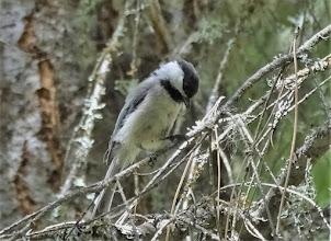 Photo: Black-capped Chickadee
