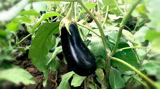 La campaña viene marcada por la inquietud de la covid y la caída del tomate
