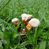 Lingzhi Mushroom