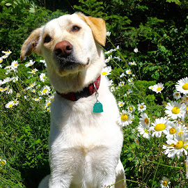 Where's the Chipmunk?? by Sandra Updyke - Animals - Dogs Portraits ( dogs, chipmunk, daisies, betsy, summer days )