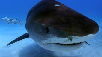 Sharkageddon