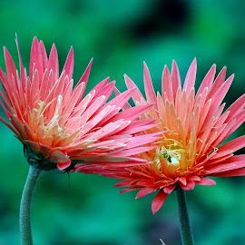 Paired beauty  by Asif Bora - Flowers Flowers in the Wild (  )