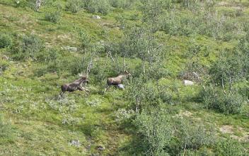Photo: Älgtjurar i Daimadalen