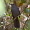 Grey Catbird (Maullador Gris)