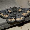 Black Geometrid Moth -2