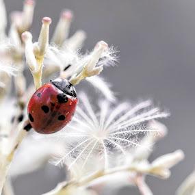 Ladybug  by Eden Meyer - Animals Other ( red, ladybug, flowers, black )