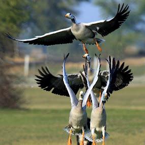 Flight by Kishan Meena - Animals Birds ( wild, nature, bar-headed, birds )