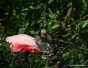 Photo: Roseate Spoonbill nest at High Island, Texas