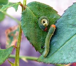 """Photo: Ne pas confondre ! """"chenilles"""" de ARGE ROSAE , en fait les larves d'un hyménoptère qui fréquente les rosiers."""