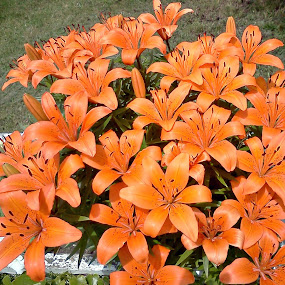 Summer Lillies by Elaine Tweedy - Instagram & Mobile Android