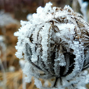 Frozen ball by Marin Mavra - Nature Up Close Other plants ( plant, beautiful flower, ball, peaceful, icy, macrophotography, macro photography, beautiful, frost, close up flower, beauty in nature, close up, macro, winter, gentle, cold, nature, delicate, frosting, landscape photography, frosty )