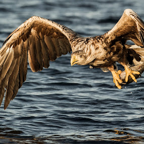 White-tailed eagle by Dennis Hallberg - Animals Birds ( white-tailed eagle, eagle,  )