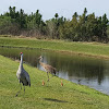 Sandhill crane and colts