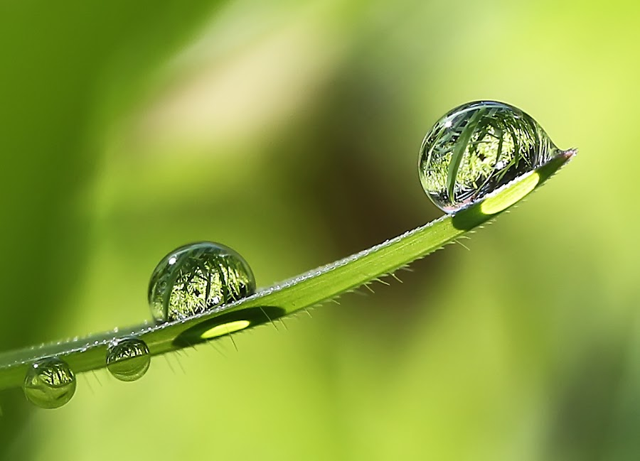 Not Only Diamonds, Dew Lasts Forever Too...  by Dangerouz Yusra - Nature Up Close Flowers - 2011-2013