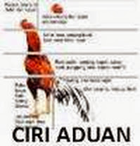 Ciri ayam aduan bagus ayam bangkok thailand