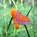 Pink Striped Oakworm Moth
