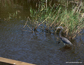 Photo: Tricolored Heron at South Padre Island, South Texas