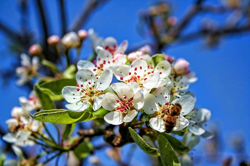 Fiori sbocciati in primavera con ape di Gianluca Presto