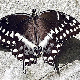 Swallowtail by Mary Gallo - Animals Insects & Spiders ( macro, butterfly, black and white swallowtail, nature up close, natue, swallowtail,  )