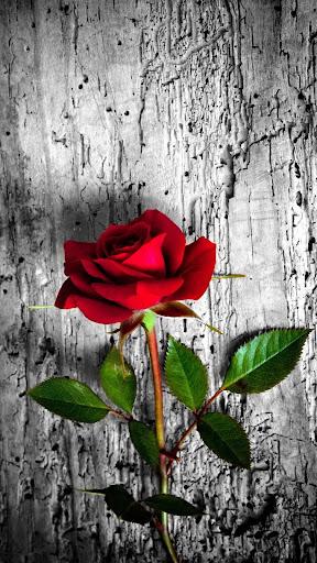 Rose Wallpaper, Floral, Flower Background: Rosely  screenshots 4