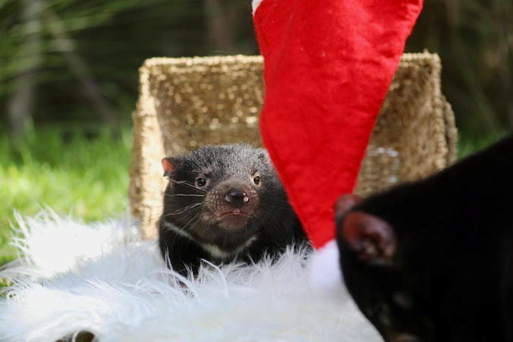 A baby Tasmanian Devil is seen among decorations while celebrating its first Christmas at the Australian Reptile Park in Somersby, Australia, December 15, 2020, in this picture obtained from social media.