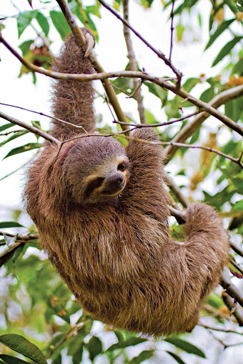 See a three-toed sloth as it climbs up a tree in the Amazon.