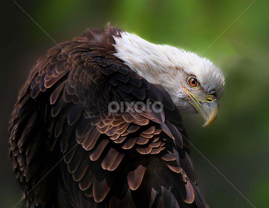 Curious George by John Larson - Animals Birds ( birds of prey, eagle, mainelionphotography.com, bald eagle, raptor,  )